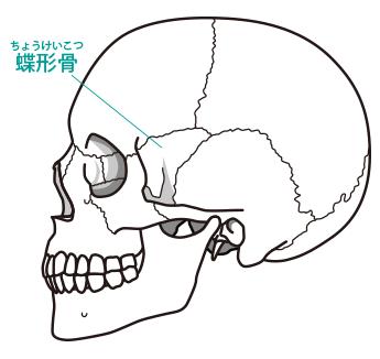 頭蓋骨画像